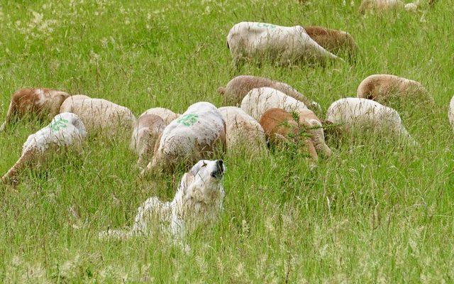 viandes de Pyrénées audoises